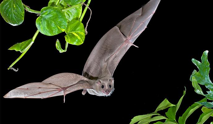 Bat Brains Forgo Rhythm when Encoding Space